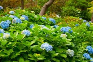 Hydrangeas planted in part shade