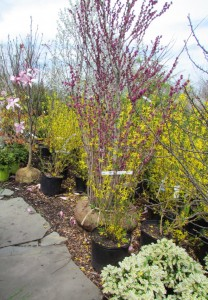 Redbud and Forsythia