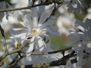 Star Magnolia Bloom