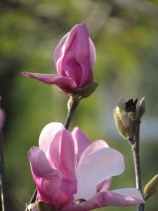 """Magnolia """"Jane"""""""