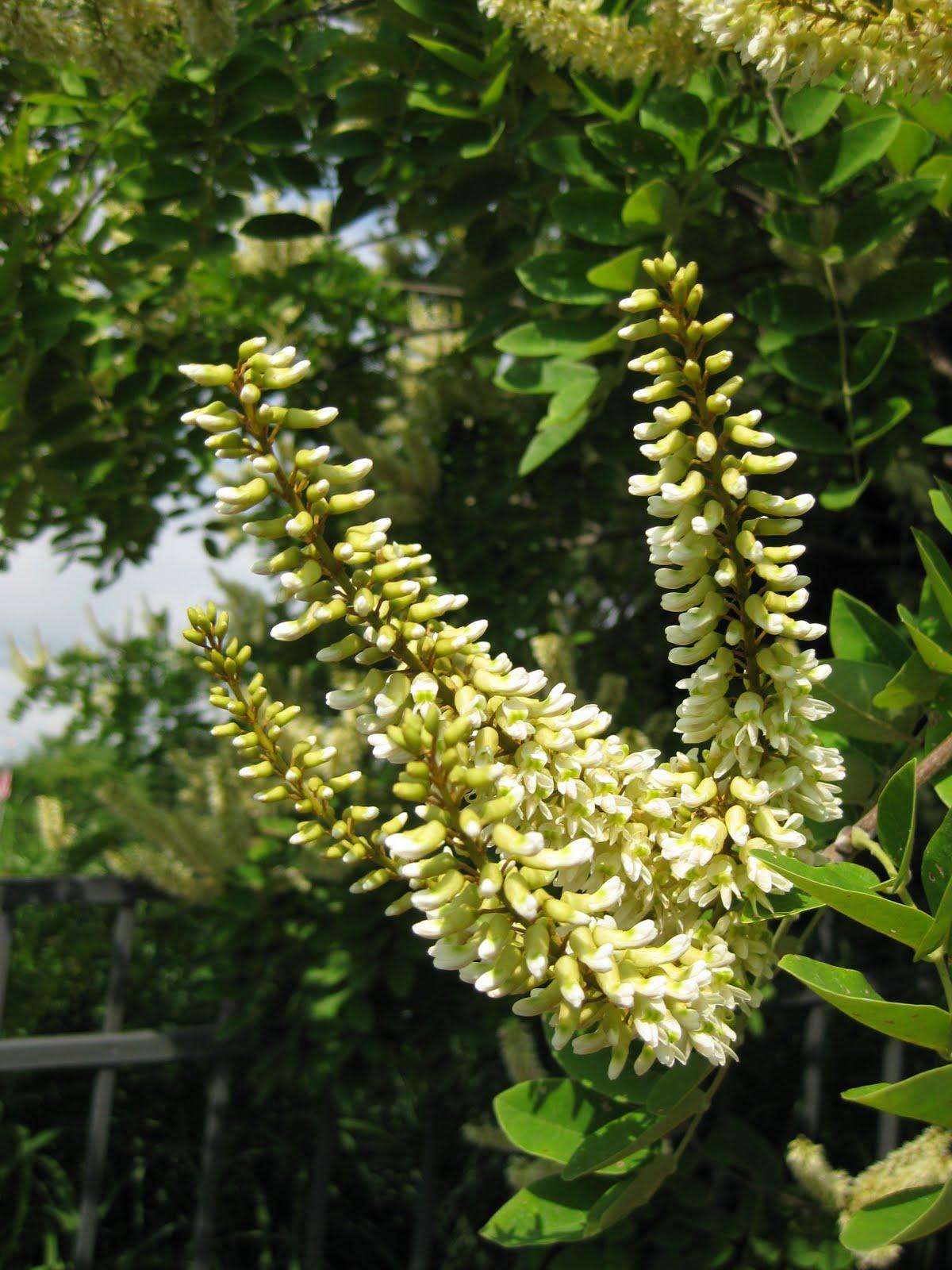Amur Maackia Tree Blog 187 Rutgers Landscape Amp Nursery
