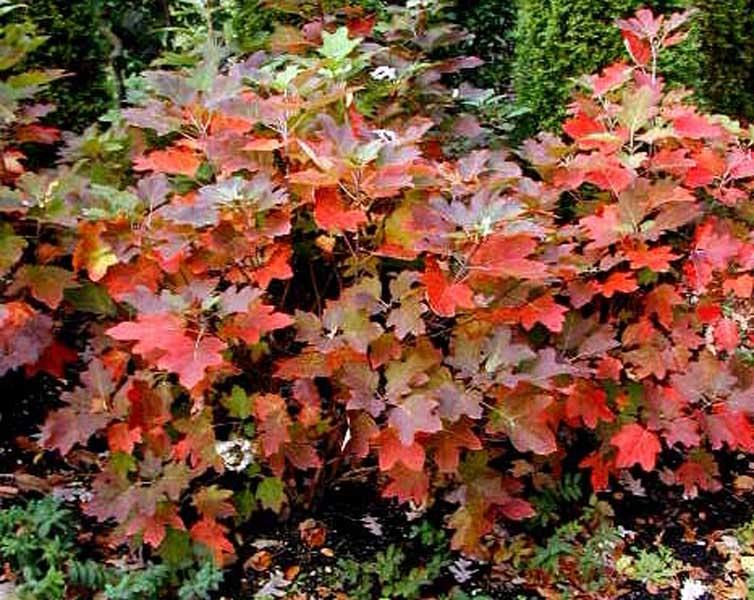 Posted in Lands... Oak Leaf Hydrangeas In Winter