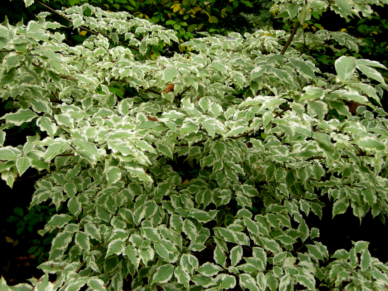Here is a wonderful variegated Dogwood for the shade garden  Cornus    Variegated Dogwood Tree