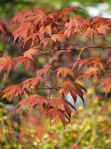 Glowing Japanese Maple