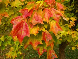 Acer buergerianum fall color