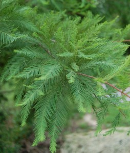 Bald_Cypress_Leaves_2000pxDerekRamsey