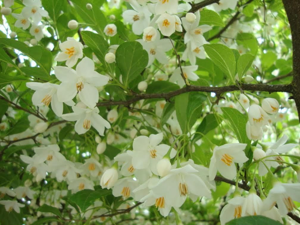 Japanese Snowbell Tree Styrax Japonicus Blog Rutgers