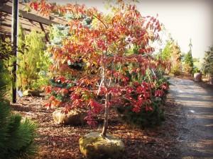 Sourwood Tree at Rutgers Nursery 015Edit
