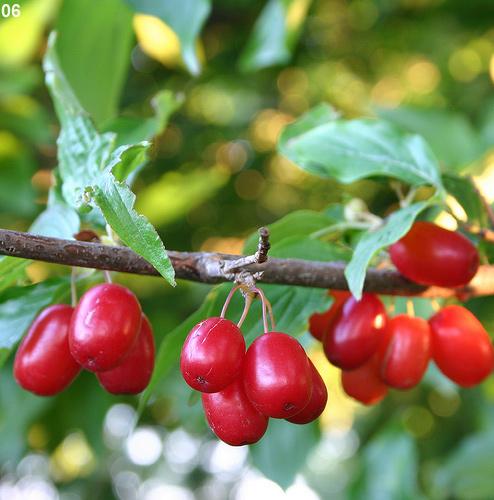 Cornelian-Cherry-Images[1]
