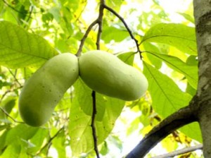 Two_Hanging_PP_Fruit