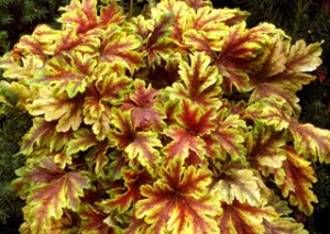 heuchera-golden-zebra