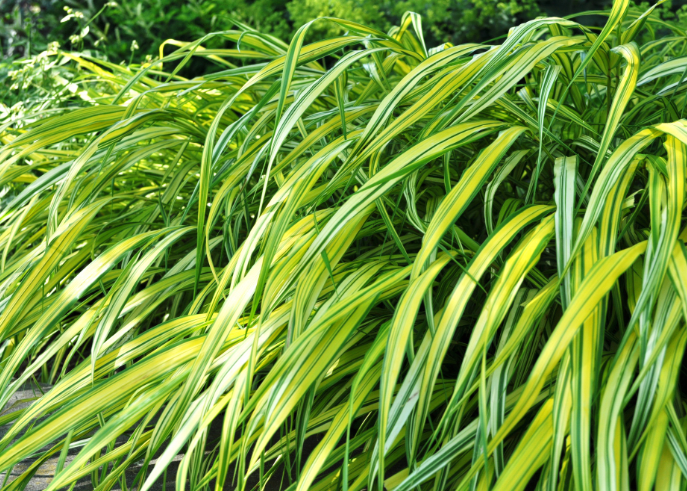 Variegated japanese forest grass blog rutgers for Japanese grass